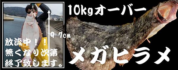 10kgオーバーメガヒラメ放流中!