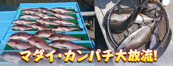 マダイ・カンパチ大放流